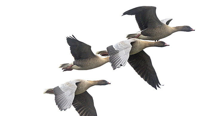 Pink-footed Geese in flight © Magnus Elander