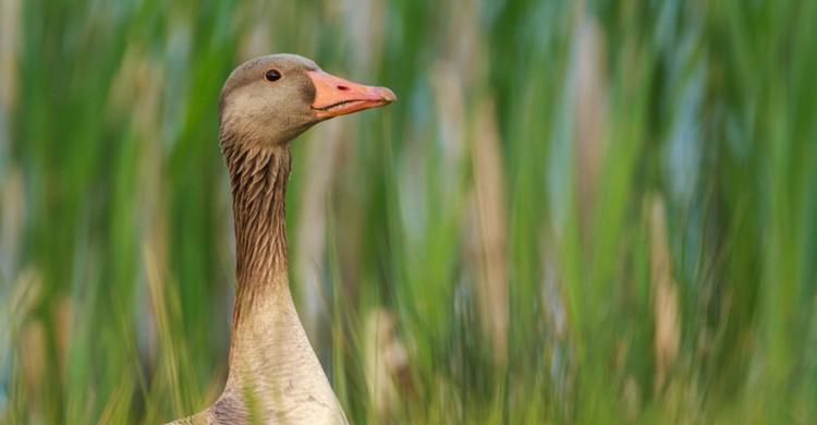 Greylag Goose © Szabolcs Nagy