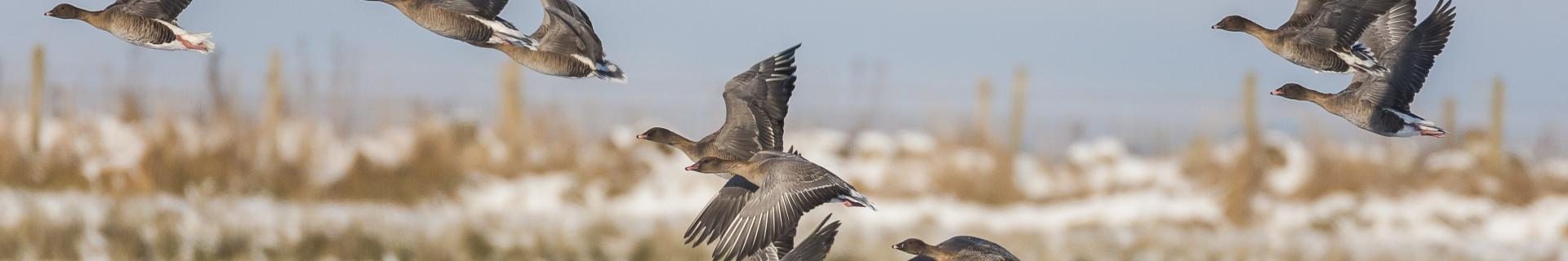 Pink-footed Geese © John Anderson