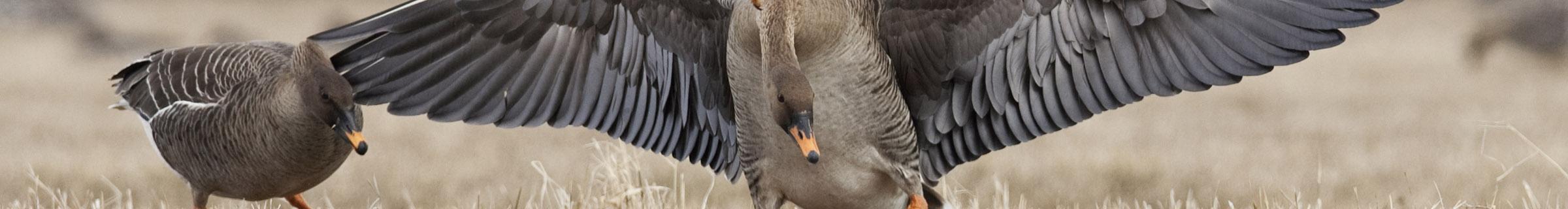 Taiga Bean Goose © Jari Peltomaki