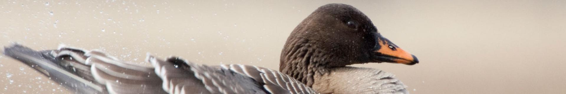 Taiga Bean Goose © Jari Peltomäki