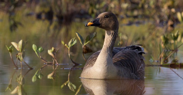 Taiga Bean Goose © Marko Gola